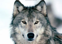 wolves_pictures_free_Thumb